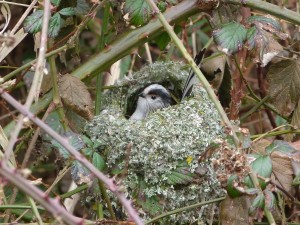 long tailed tit at test
