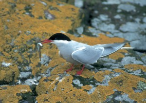 common tern and eel - Darin Smith
