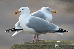herring gull - richard blackburn
