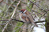 tree sparrow - Richard Blackburn
