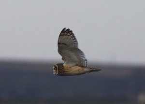 Short-eared owl (c) Richard Blackburn