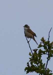 Whitethroat (c) Richard Blackburn