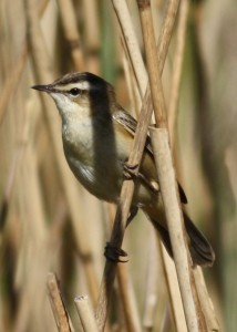 Sedge Warbler (c) Richard Blackburn