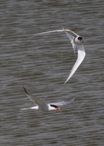 Common Tern - Richard Blackburn