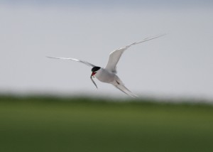 Common Tern with fish - Richard Blackburn