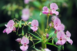 Himalayan_balsam_cpt_Amy_Lewis