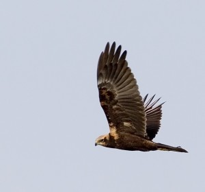 Marsh Harrier (c)Damian Waters/Drumimages.co.uk