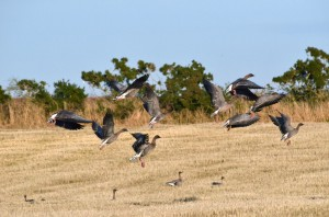Pink-footed Geese (c) SWT