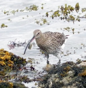 curlew with crab - Andy Wakelin