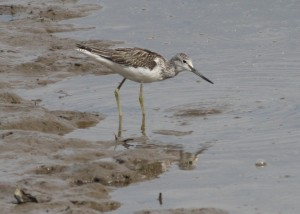 greenshank - Richard Blackburn