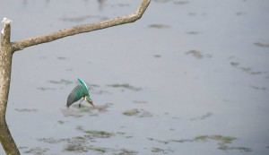 Kingfisher (c) Nick Townell