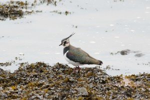 lapwing - Richard Blackburn