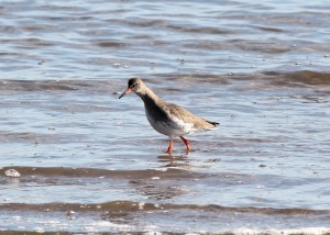 redshank - Richard Blackburn