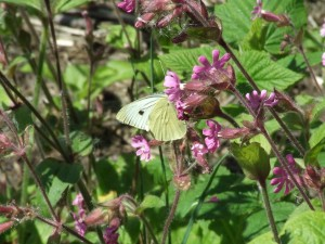 small white butterfly - russell nisbet