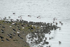 waders at Rossie Spit