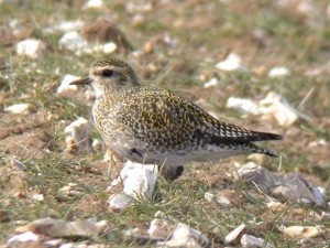 Golden plover cpt Dave Appleton