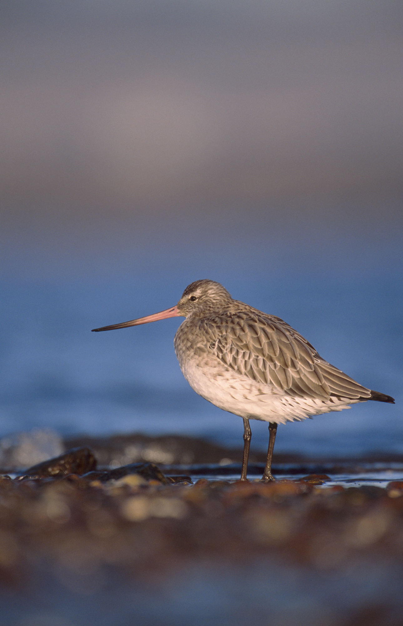 SWT_B1MOB_327_Bar_tailed_Godwit_NB_LIM
