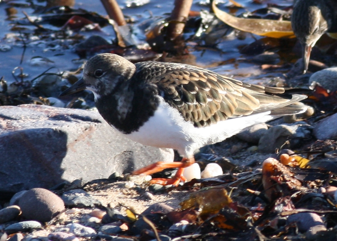 Turnstone - Richard Blackburn