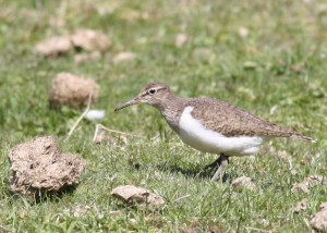 common sandpiper - richard blackburn