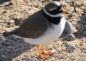 ringed plover - richard blackburn