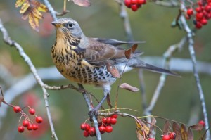 Fieldfare (c) Richard Bowler