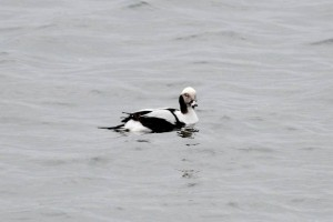 Long Tailed Duck (c) Richard Blackburn