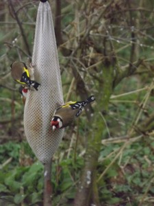 goldfinch on feeders resized