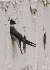 Sand Martin (c) Richard Blackburn