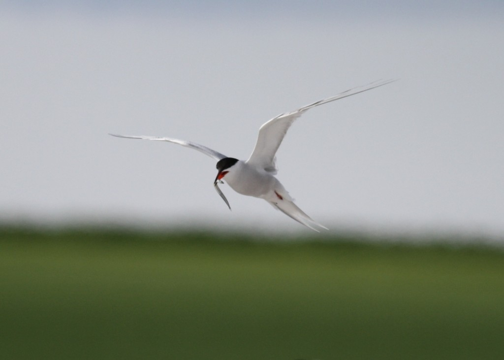 Common Tern with fish (c) Richard Blackburn
