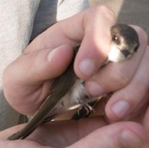 Bird Ringing (c) Scottish Wildlife Trust
