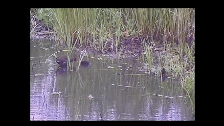 Moorhen chick from video (19-07-2014 12-21) - cropped
