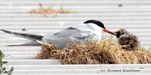 Common tern and chick - resized & copyright