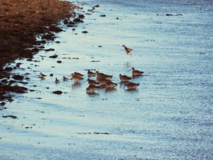 Godwit group Rossie Spit Harry Bickerstaff