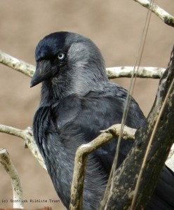 Jackdaw Harry Bickerstaff (148) - sized & copyright