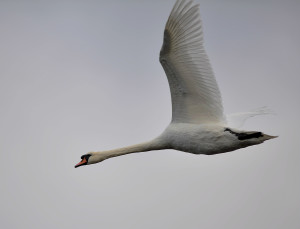 Mute swan flying - Nick Townell