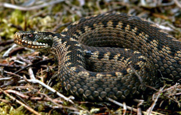 Adder (c) Surrey Amphibian & Reptile Group