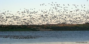 Pink-footed geese taking off from Montrose Basin