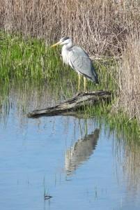 Grey Heron AndyWakelin
