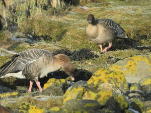 Pink-footed Geese Harry Bickerstaff (217) - resized & copyright