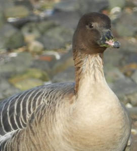 Pink-footed goose Harry Bickerstaff (249)1