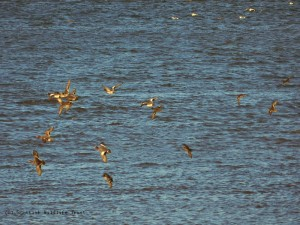 Wigeon & teal flight Harry Bickerstaff - resized & copyright