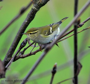 Yellow-browed Warbler (3)
