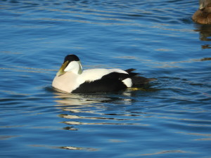 Eider Duck (c) ScottishWildlifeTrust
