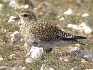 Golden Plover (c) Dave Appleton