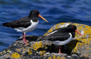 Oystercatcher (c) ScottishWildlifeTrust