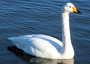 Whooper Swan (c) ScottishWildlifeTrust