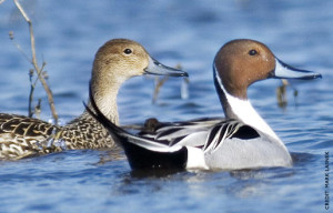 Pintail Duck (c) Mark Lasnek