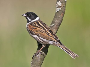 Reed Bunting (c) WildCrail