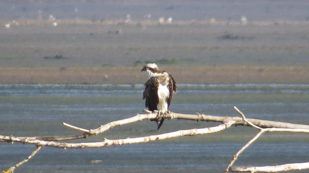 Osprey, Montrose Basin by Gus Guthrie