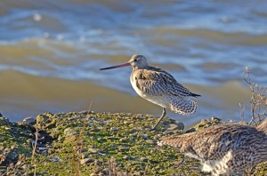 Bar-Tailed Godwit - seen at the Wigeon Hide (c) Scottish Wildlife Trust
